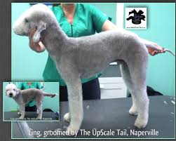 grooming a bedlington terrier puppy bedlington terrier ling is groomed at the upscale tail pet