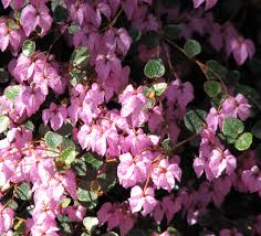 australian native shade plants thomasia wikipedia