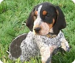 bluetick coonhound with cats rusty adopted puppy lima pa bluetick coonhound beagle mix