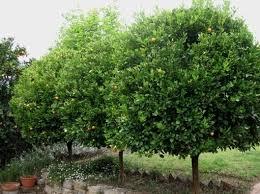 evergreen small trees for gardens american gardener