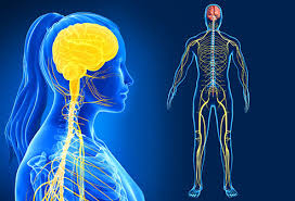 Anatomy And Physiology Nervous System Study Guide Nervous System Pictures Brain Anatomy And Functions Nerve Cells