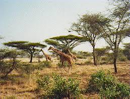 Tropical Savanna Dominant Plants - savannah background