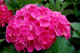 pink hydrangea hydrangea macrophylla forever pink carolyn s shade gardens