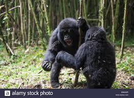 gorilla gorilla fighting stock photos u0026 gorilla gorilla fighting