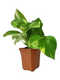 Best Plant For Bathroom by Does Neem Tree Release Oxygen At Night Bedroom Plants Feng Shui In