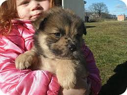 belgian sheepdog puppies for sale in michigan noah adopted puppy howell mi australian shepherd chow chow mix