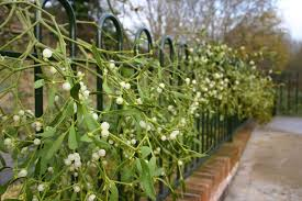 not poison in n d mistletoe plant or poisonous parasite nature s poisons
