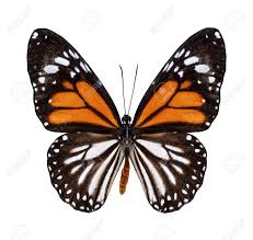 white tiger butterfly in color profile isolated stock