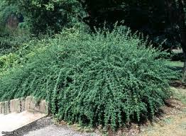 All Star Landscaping by 59 Best Garden Shrub Shade Drought Easy Images On