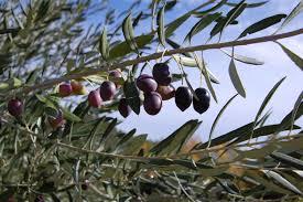 closeup photography of purple oval tree fruits free image peakpx