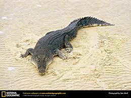 crocodile picture crocodile desktop wallpaper free wallpapers