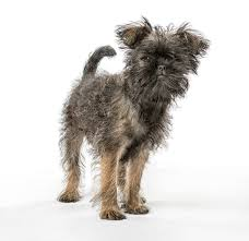 affenpinscher how much do they cost 11 adorable small dogs breeds for those who want tiny pets