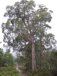 australian plants society tasmania eucalyptus amygdalina tree