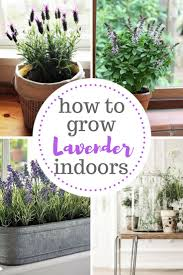 the ultimate care guide for growing lavender indoors best indoor