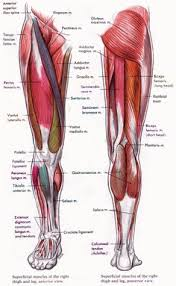 Muscle Anatomy Of Shoulder Adductor Brevis Anatomy Orthobullets Com Muscle Anatomy