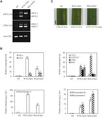 alternative splicing of rice wrky62 and wrky76 transcription
