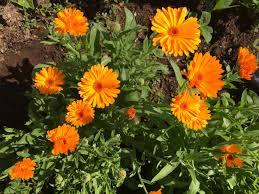 Calendula Flowers How To Make Calendula Oil Gardensall