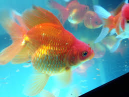 fancy goldfish for sale ranchu ryukin fantail feltham middlesex