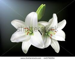 white lilies white lilies isolated on background stock vector 445756204
