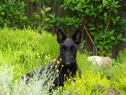 scottish terriers understand and love the breed pethelpful