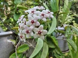 Indoor Fragrant Plants - mariette u0027s back to basics our fragrant hoya carnosa wax plant