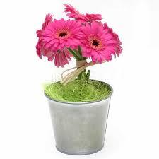 potted flowers gerberas