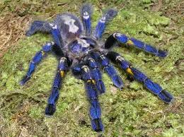 poecilotheria metallica one of the most beautiful tarantulas in