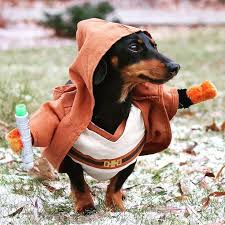 Halloween Costumes Miniature Dachshunds 25 Dachshund Costume Ideas Dachshund