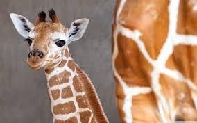 giraffe desktop background group 81