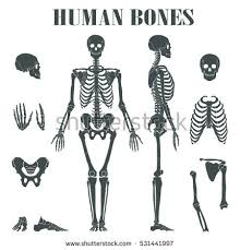 Anatomy Of The Human Body Bones Skeletal System Stock Images Royalty Free Images U0026 Vectors
