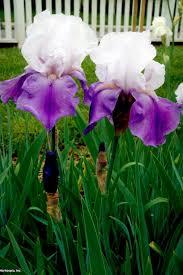 iris flowers iris flower colors hgtv