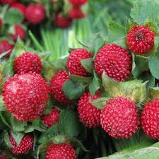 strawberry seeds indian strawberry ground cover seed