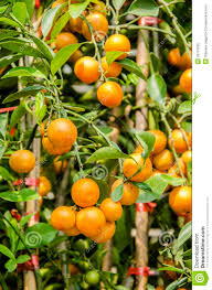 orange citrus japonica thunb stock image image 33761835
