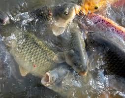 cara membuat umpan mancing ikan mas harian cara membuat umpan mancing ikan mas bandung top resep umpan ikan