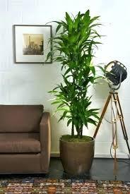 indoor plants that need no light amazing indoor plants low light or tall house plants low light 38