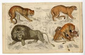 1858 antique print tiger puma lion cubs african oliver goldsmith