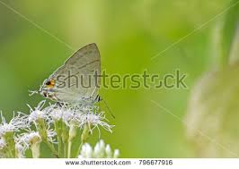 beautiful common butterfly hypolycaena erylus stock photo