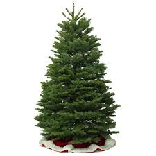 shop 11 12 ft fresh cut noble fir christmas tree unlit at lowes com