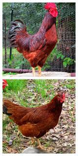 saving heritage breed chickens