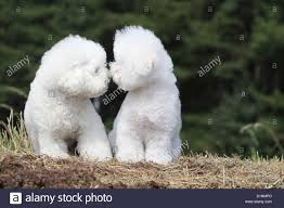 bichon frise jumping dog bichon frise two adults kisses sitting stock photo royalty