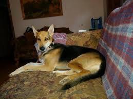 belgian shepherd north carolina lost u0026 found dogs north carolina liked december 28 2014