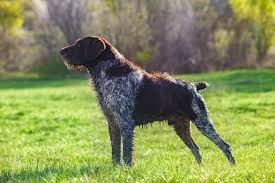 australian shepherd hunting german wirehaired pointer dog breed information pictures