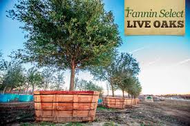 fannin select live oak trees buy oak trees fannin tree farm