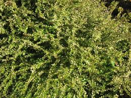 hedges u0026 shade plants the trees u0026 flowers of whangarei