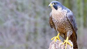 falcon family adds an eyass to the cast sunraysia daily
