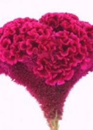 coxcomb flower celosia cristata coxcomb tornado sunline ag
