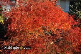 buy japanese maples mrmaple mr maple buy japanese maple trees