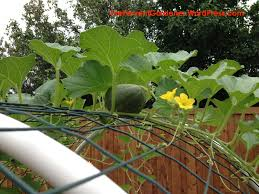 Growing Cantaloupe Vertically The Fervent Gardener