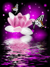 reflection of a beautiful lotus flower with butterflies stock