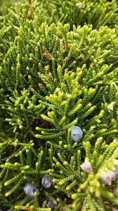 free images nature branch fruit spring evergreen fir